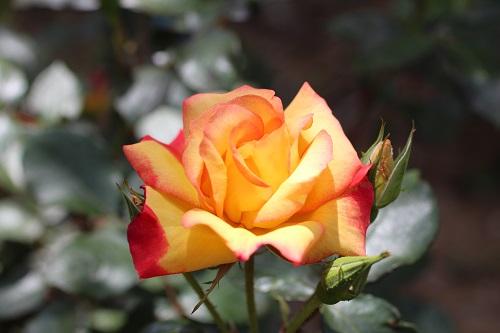 IMG_2176薔薇