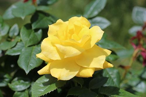 IMG_2180薔薇黄色