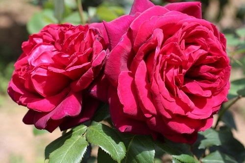 IMG_2185薔薇 くれない2輪