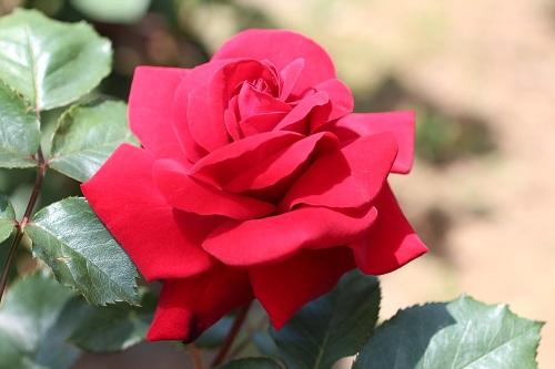 IMG_2193薔薇 くれない