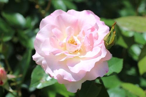 IMG_2216薔薇ピンク