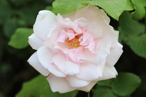 IMG_2335 (2)薔薇 - コピー