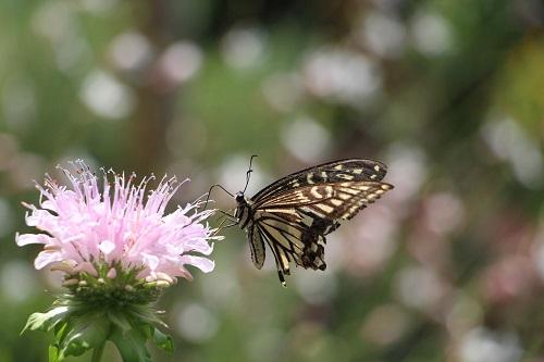 IMG_3134蝶とモナルダディディマs