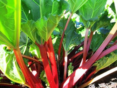 rhubarb4.jpg