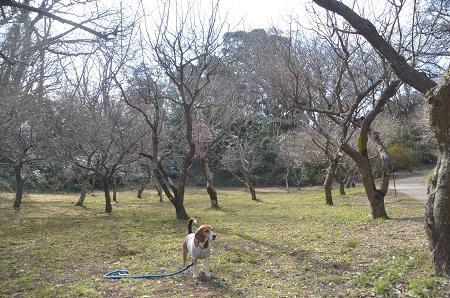 20150216佐倉城址公園18