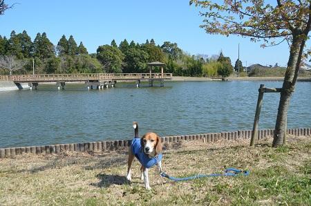 20150326宮島池親水公園09