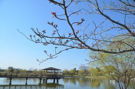 20150326宮島池親水公園24