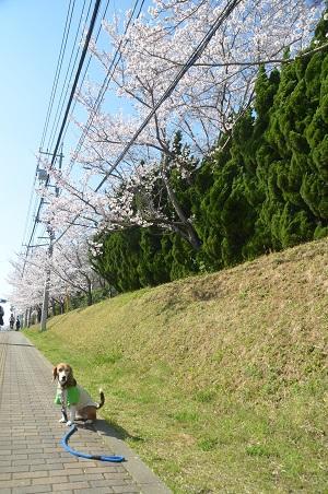 20150402佐倉城址公園05