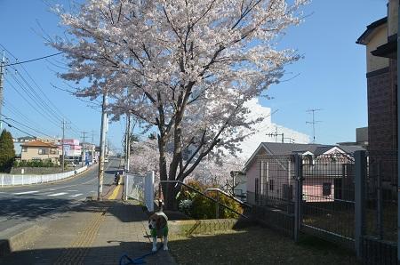 20150402佐倉城址公園04