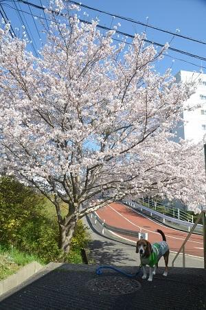 20150402佐倉城址公園03