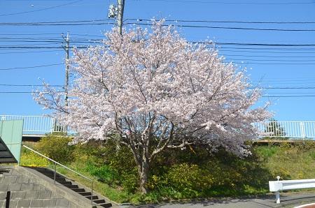 20150402佐倉城址公園02