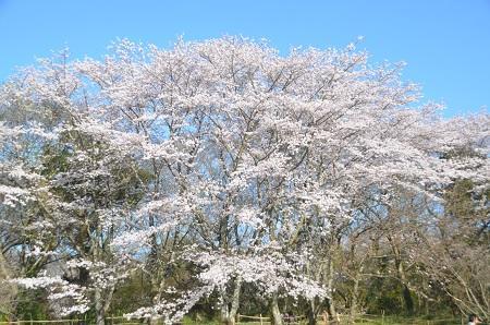 20150402佐倉城址公園17