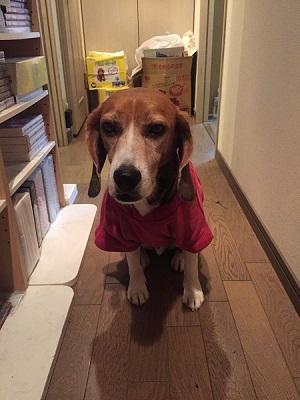 20150407犬服作り第3作16