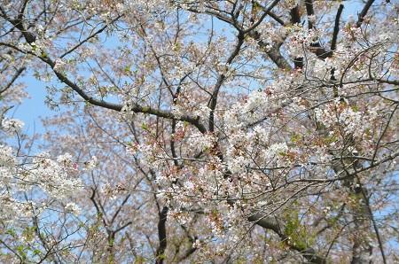 20140412国営武蔵丘陵森林公園11