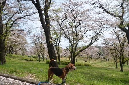 20140412国営武蔵丘陵森林公園10