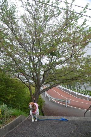 20150421佐倉城址公園01