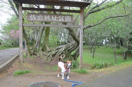 20150421佐倉城址公園31