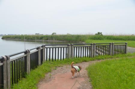20150523利根川コジュリン公園20