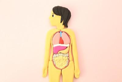 内臓の位置が分かる人体模型