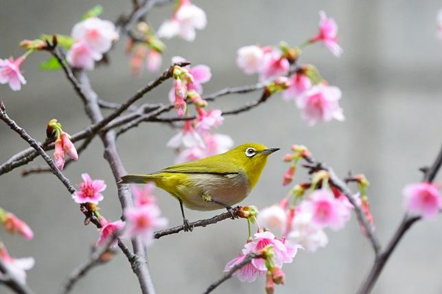 桜とメジロ(4)