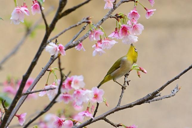 桜とメジロ(8)