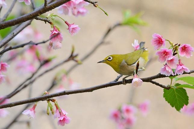 桜とメジロ(7)
