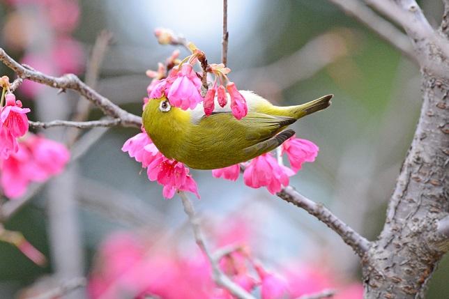寒緋桜とメジロ(5)
