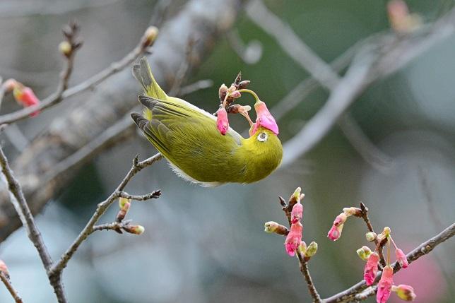 寒緋桜とメジロ(4)