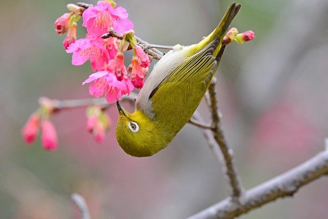 寒緋桜とメジロ(3)