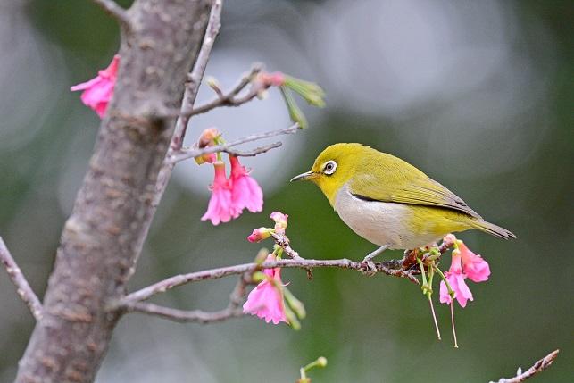 寒緋桜とメジロ(2)