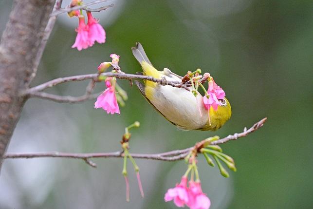 寒緋桜とメジロ(1)