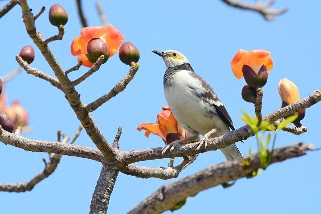 キワタの木と野鳥(6)