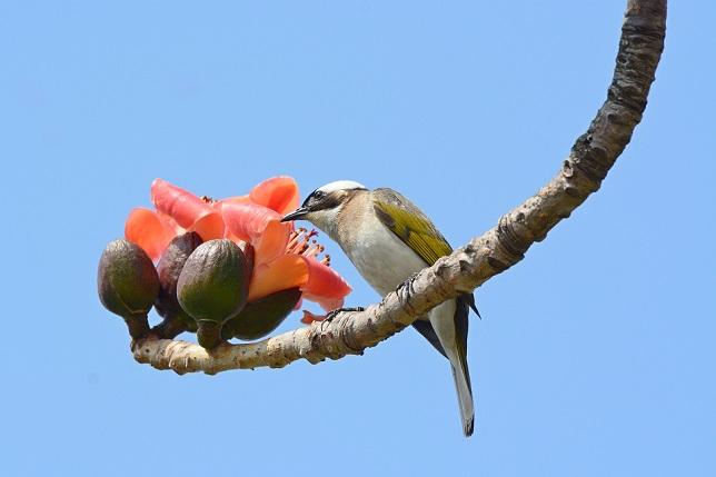 キワタの木と野鳥(3)