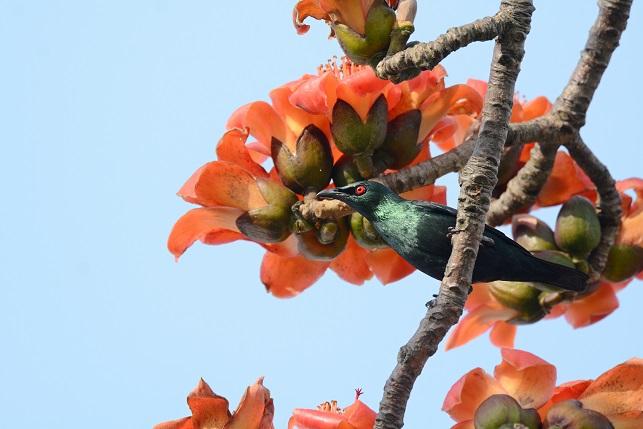 キワタの木と野鳥(8)