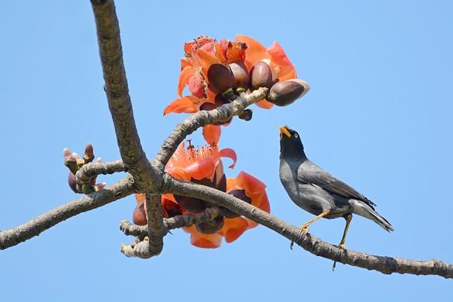 キワタの木と野鳥(7)