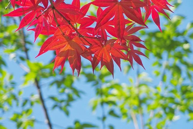 春の紅葉(4)