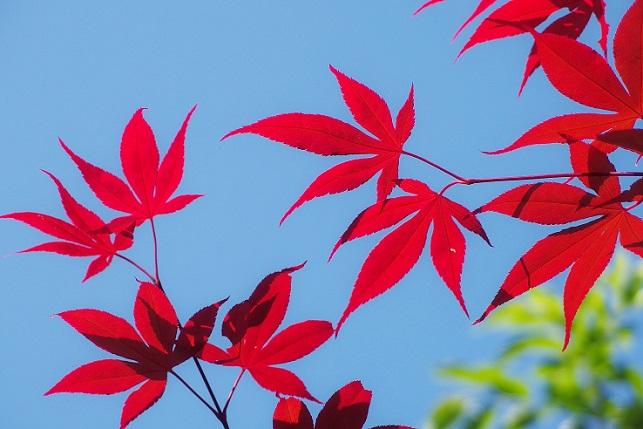 春の紅葉(3)