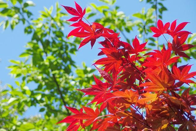 春の紅葉(2)