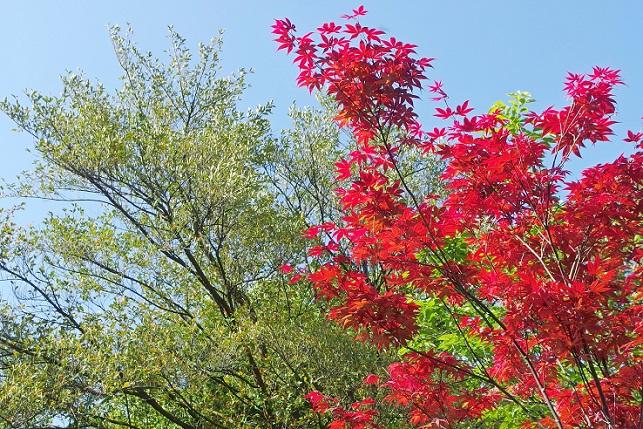 春の紅葉(1)