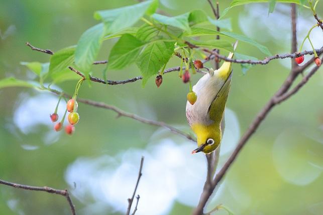 サクランボと野鳥~メジロ編(5)