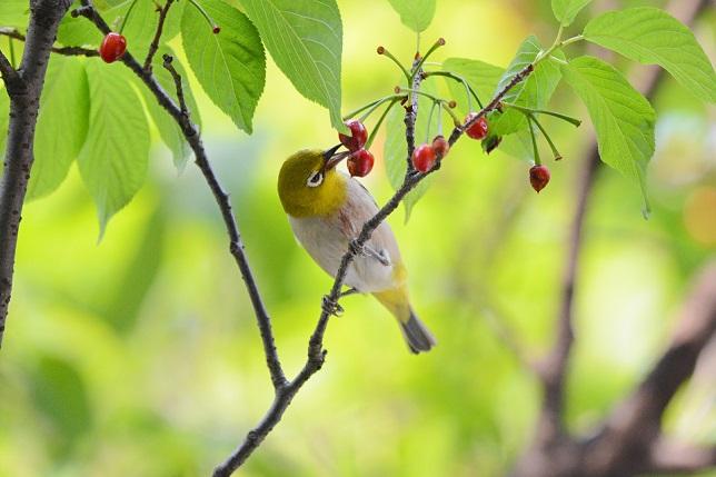 サクランボと野鳥~メジロ編(2)