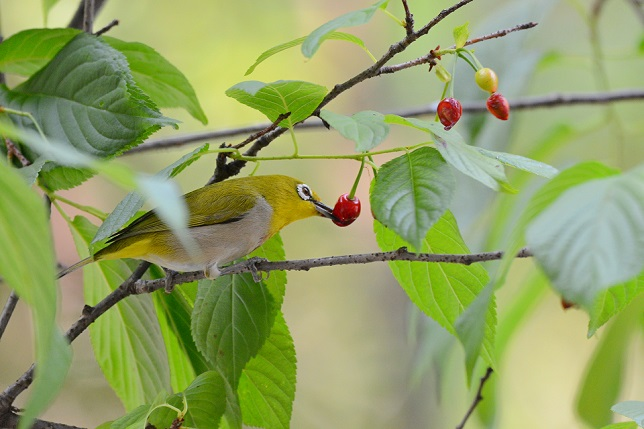 サクランボと野鳥~メジロ編(1)