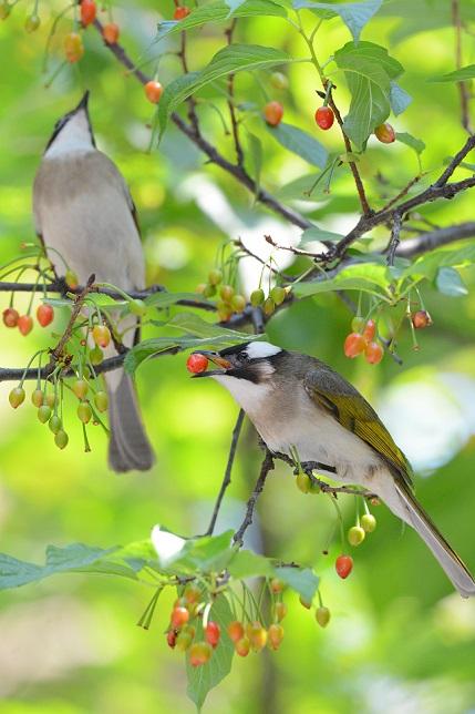 サクランボと野鳥~シロガシラ編(2)