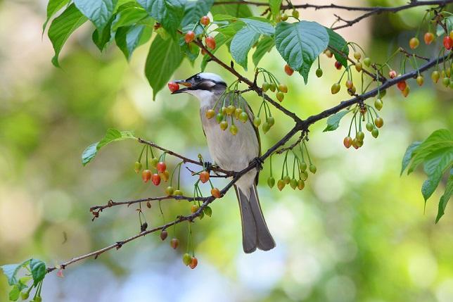 サクランボと野鳥~シロガシラ編(1)