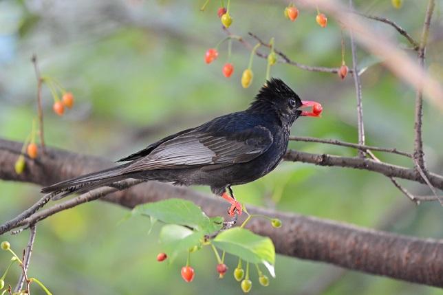 サクランボと野鳥~その他(4)