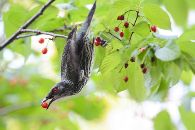 サクランボと野鳥~その他(2)