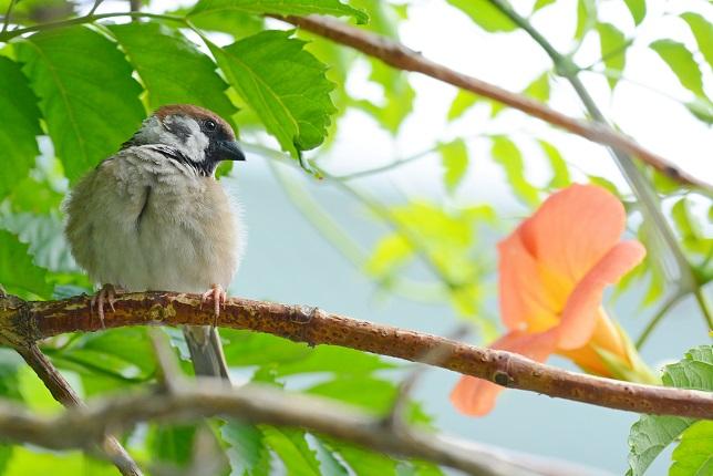 凌霄花と野鳥(2)