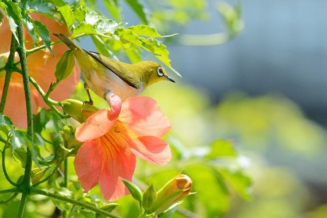 凌霄花と野鳥(1)