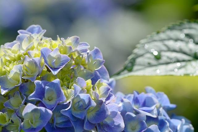 紫陽花とトンボ(1)
