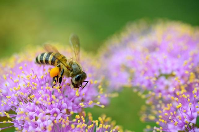 紫式部とミツバチ(2)